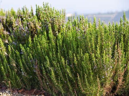 Blooming Rosemary   Rosmarinus Officinalis