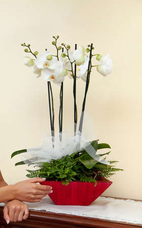 ferns and orchids: White orchids in pot with hands. Stock Photo