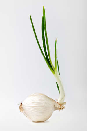 sprouted: Sprouted onion on white. Stock Photo