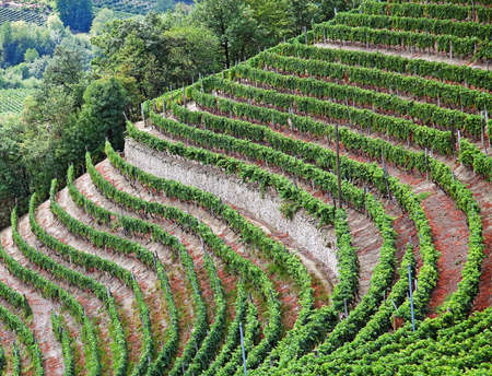 Cossano Belbo (Piedmont, Cuneo, Italy): landscape of Langhe.  photo