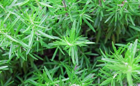 Detail van rozemarijn (Rosmarinus Officinalis)