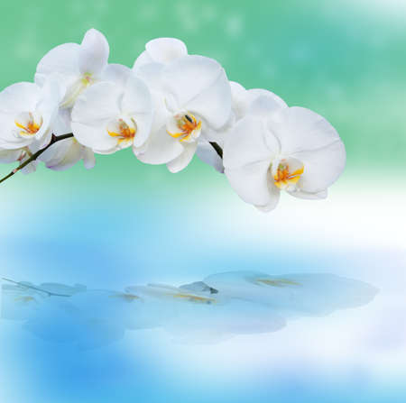 close up of white orchids with eflection photo