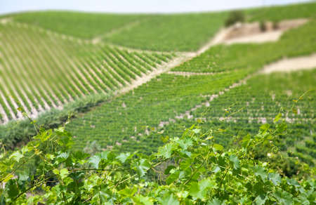 piedmont: Vineyards (close-up of leafs) in Piedmont, Italy. Stock Photo