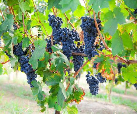 grapes in autumn. Piemont, Italy Zdjęcie Seryjne
