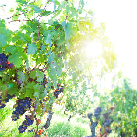 Black organic grapes in a vineyard in Piedmont, Italy, at sunset, low wiev. Selective focus and space for your logo or text.