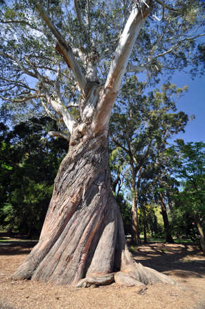 Very large and very beautiful Eucalyptus tree  Christchurch Botanical Gardens, New Zealand  photo
