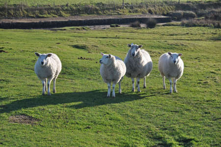 gb: sheep living on Northam Burrows, the mixed grassland and saltmarsh between Northam and Westward Ho in North Devon England Stock Photo
