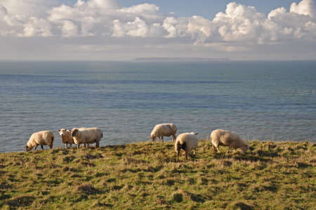 headland: Sheep roaming the wild headland at Baggy Point, in North Devon, England. This Island of Lundy is on the horizon. Stock Photo