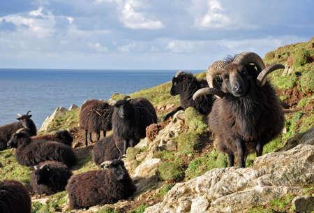 bajo y fornido: Carnero de las H�bridas, Conocido como una raza resistente fornido este animal vive en las laderas salvajes en Baggy Point, Croyde en North Devon, un espect�culo popular entre los excursionistas en el camino de la costa suroeste. Foto de archivo