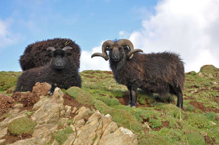 hardy: Hebridean ram, Known as a stocky hardy breed this animal lives on the wild slopes on Baggy Point in North Devon, Exposed to the westerly winds brown straight off the Atlantic Ocean the animal is very much at home, a popular sight with walkers on the south