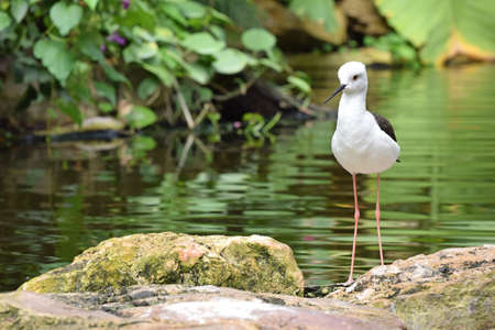 The Black Winged Stilt, (himantopus) Is also know as the Common Stilt or Pied Stilt is a wader regularly seen around the Mediterranean rim. It is becoming a more sighting in the UK Stock Photo