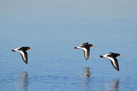 A trio of Oystercatchers in flight. These 3 wading birds are flying across the Taw and Torridge estuary in North Devon, England Stock Photo