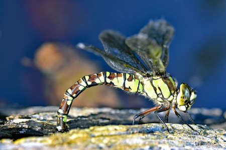 A female Southern Hawker Dragonfly ( Aeshna Cyanea) laying eggs on a log at the edge of a pond in North Devon, England. Stock Photo