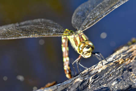 edge: A female Southern Hawker Dragonfly ( Aeshna Cyanea) laying eggs on a log at the edge of a pond in North Devon, England. Stock Photo