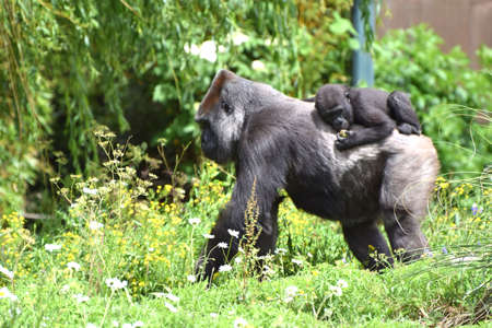 A mature Western Lowland Gorilla carrying its young on its back Stock Photo