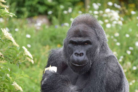 Mature male western lowland gorilla Stock Photo