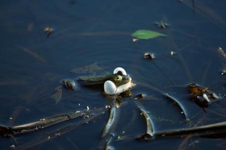 croaking: Croaking frog in a swamp