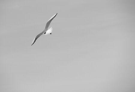 grey  sky: Single seagull in flight on grey sky