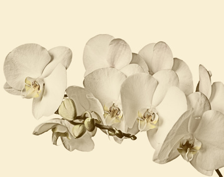 wispy: Flowering branch of white orchids on a white background