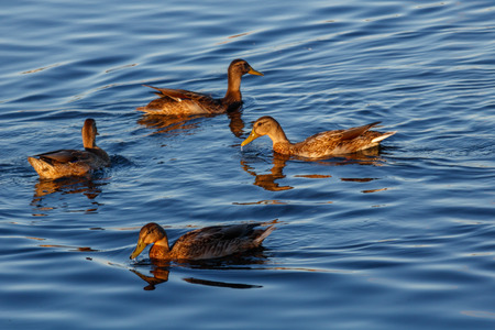 Young ducks slowly floating by the calm blue lake