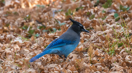 green jay: Stellers Jay (Cyanocitta stelleri)  in the late autumn on a background of fallen leaves, Arizona, USA