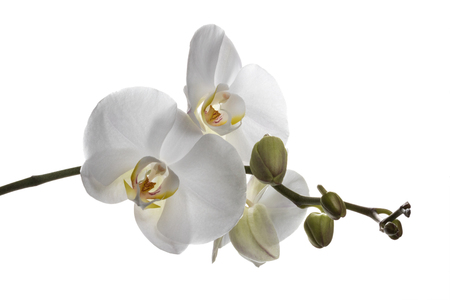 gorgeus: Gorgeus white orchids isolated on a clear white background