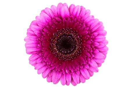 Gerbera Pink perfecto, completamente aislado en fondo blanco  Foto de archivo - 7528800