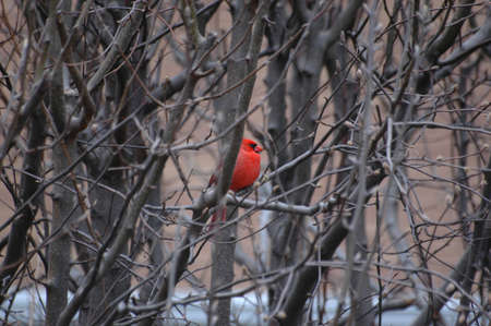 Cardinal in the Winter photo
