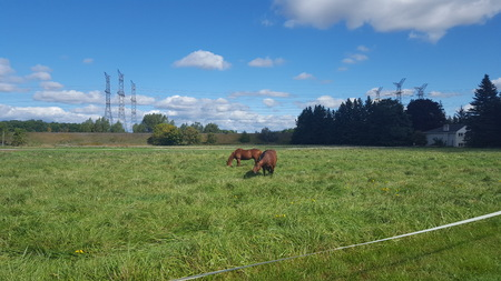 Two Brown Horses Grazing in a Green Field on a Farm in North America
