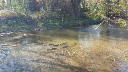 Autumn Salmon Fish Swimming Upstream in River in North America