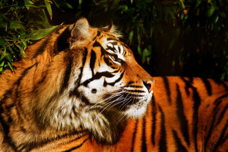 Siberian Tiger in profile photo