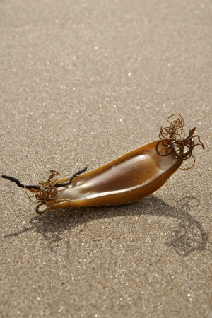 Mermaids Purse or the egg case  Chondrichthyes  of the Dogfish Imagens