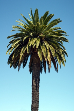 canariensis: Pineapple palm or Canary Island date palm  Phoenix canariensis