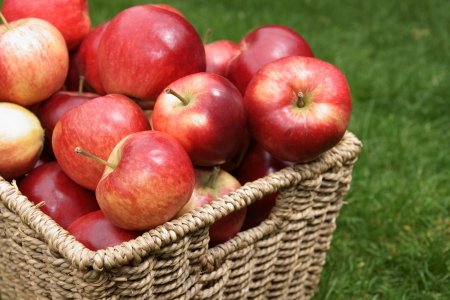Apple variety Malus domestica Discovery at harvest time photo