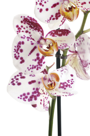 floristry: The Moth Orchid (Phalaenopsis) comes in a multitude of shapes and colours and is popular flower in floristry and the horticultural trade