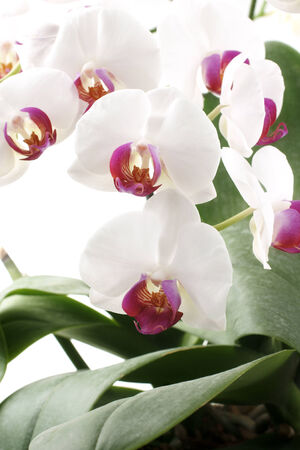 horticultural: The Moth Orchid (phalaenopsis) comes in a multitude of shapes and colours and is popular flower in floristry and the horticultural trade