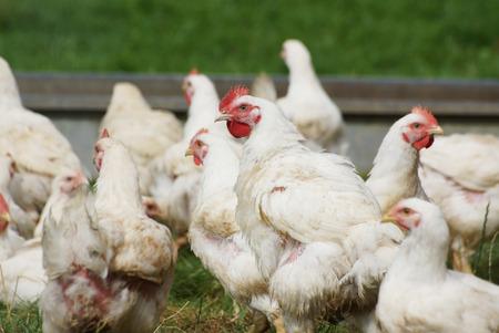 free range: Organic free range chickens living an outdoor life