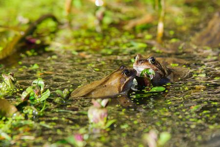 frog egg: Wild common Frogs (Rana temporaria) surrounded by frog spawn in a pond Stock Photo