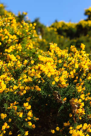 faboideae: Common gorse Ulex europaeus a thorny evergreen shrub with brilliant yellow flowers Stock Photo