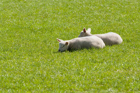 Pair of lambs snuggle together for warmth and comfort in a grassy pasture
