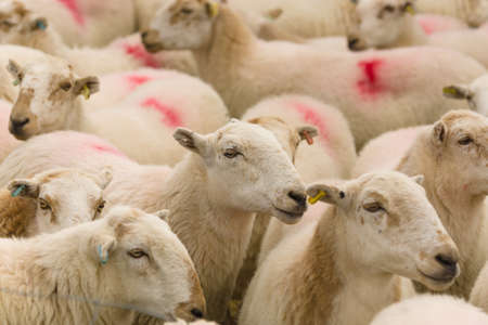 ewes: Flock of Welsh mountain sheep ewes Stock Photo