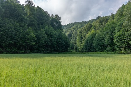 Green marsh overgrown with sedge surrounded by forest. Sky with clouds