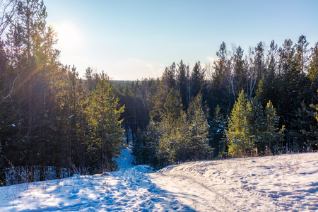 Winter view from the Hill on a young pine forest on a bright sunny day
