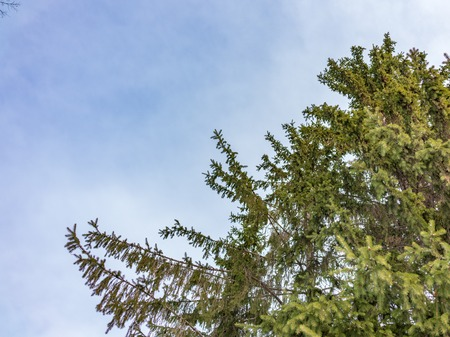 The tops of the fir trees on a slightly cloudy winter day against the blue sky. Copy space background 版權商用圖片
