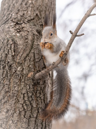 Squirrel with a big fluffy tail eating nuts on a tree branch in the winter.
