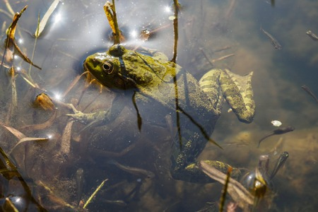 Green frog with tadpoles in water, close-up. Stok Fotoğraf - 121362209