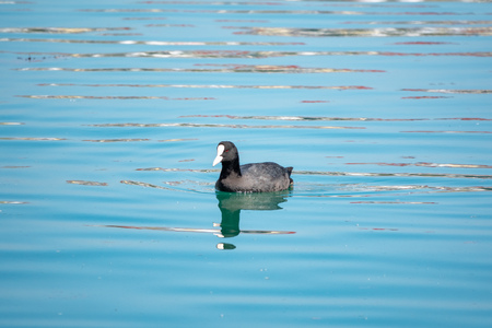 Black duck Eurasian coot Fulica atra is swimming in calm blue water. Stok Fotoğraf