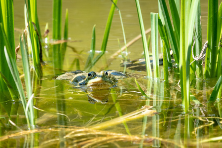 A large green frog sits in a marsh. Portrait of a frog in the water.