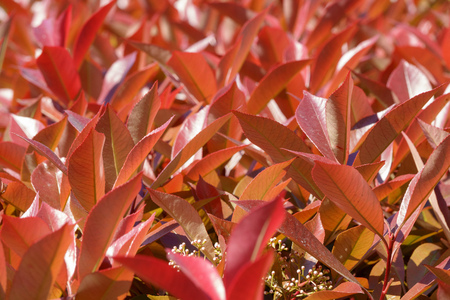 Branches of bushes with young red-orange leaves. Background image.