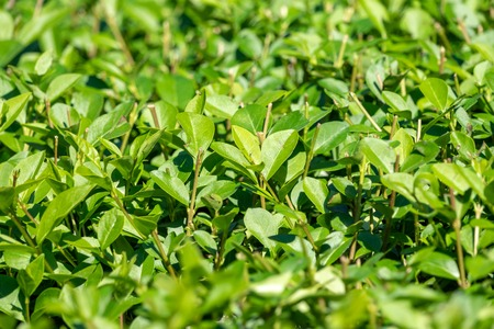 Green bushes with trimmed branches and young leaves. Background image.